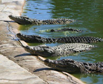 Тайланд: крокодиловая ферма и адреналин